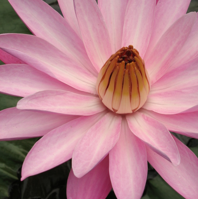 Full bloomed pink lotus with yellow center
